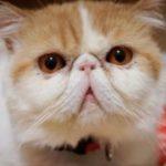 猫の品種!性格や値段や特徴から飼いやすい種類の一覧!