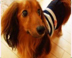 おしゃれな犬のブランド服