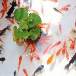 金魚の餌でおすすめなのは?フレークや粒で食べやすいランキング!