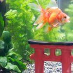 金魚が水草を食べる理由は?相性がいい種類や丈夫なのは?