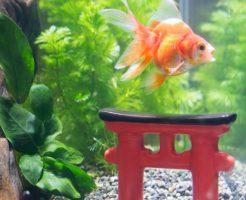 金魚におすすめの水草