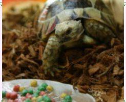 餌を食べる亀の画像