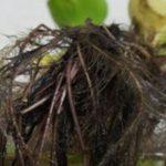 メダカの産卵の水草でおすすめの種類や代用できるものは?