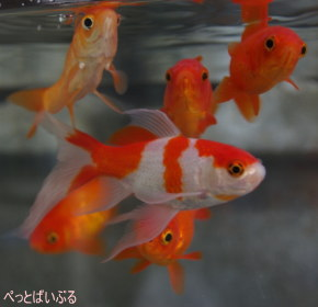 金魚画像1