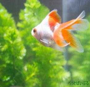 金魚と相性の良い水草