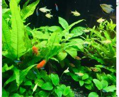 飼いやすい淡水魚画像