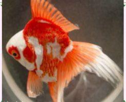 飼いやすい金魚