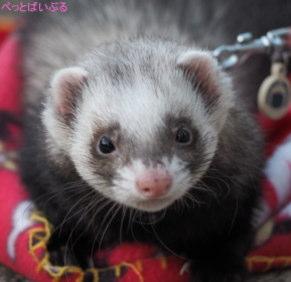 飼いやすい小動物 フェレット