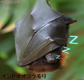 インドオオコウモリ画像2