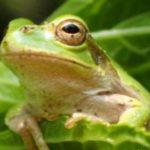カエルをペットに!種類や値段、飼いやすいおすすめランキング!