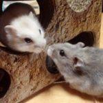 ネズミをペットに!なつく種類や値段、飼育方法や餌のおすすめも!