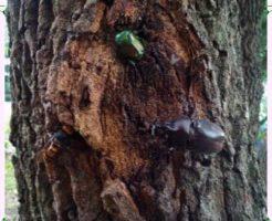 カブト虫画像2