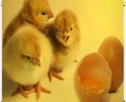 鶏の卵から孵化