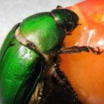 カナブンのエサって?飼育するときにおすすめの餌や頻度、与える量は?