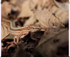 カナヘビ画像2