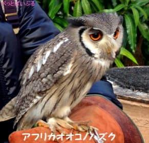 アフリカオオコノハズク画像