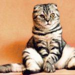 猫の耳掃除!方法や頻度、嫌がる時のやり方、洗浄液のおすすめは?