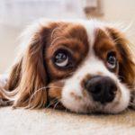 犬の耳掃除!方法や頻度、嫌がる時のやり方、洗浄液のおすすめは?