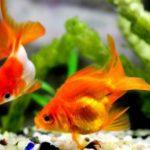 金魚の性別の見分け方!オスとメスの特徴や性格の違い、追星って?