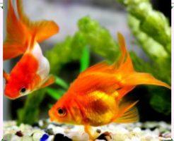 金魚画像2