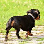 犬が足を引きずる時の原因や対処法!痛がらない時やしびれることもある?