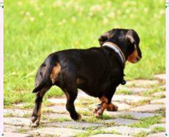 足を引きずる犬