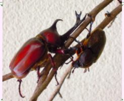 カブト虫のオスとメス