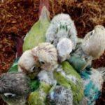 コザクラインコの雛の育て方は?飼育に必要なものや餌、注意点も!