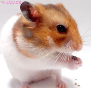 飼いやすい小動物 ハムスター