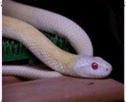 飼いやすいヘビ