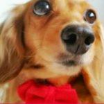 ダックスフンドのカットスタイル集を画像で紹介!可愛いおすすめ種類は?