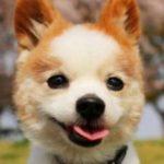 パピヨンのカットスタイル集を画像で紹介!可愛いおすすめ種類は?