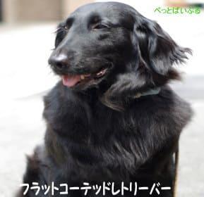 珍しい犬画像 フラットコーテッドレトリーバー