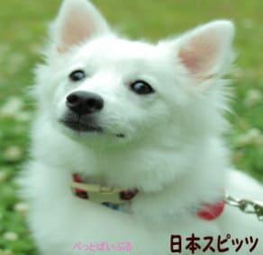 日本スピッツ画像
