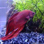 ベタの稚魚の育て方!餌や隔離する方法・成長時の色の変化は?