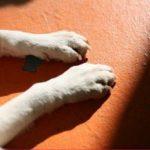 老犬の足に力が入らない時の原因や対処法、おすすめのアイテムも!