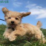 飼いやすい小型犬ランキング!初心者や一人暮らしでおすすめな種類!散歩は必要?