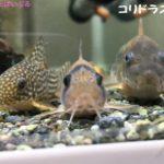 コリドラスの稚魚の育て方!おすすめの餌と隔離方法や成長速度は?