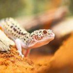 ヒョウモントカゲモドキの餌!頻度や量、食べない時の対処法や虫以外のおすすめも!