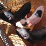 ミニブタをペットに!値段や飼育方法、寿命、なつく方法や餌も!