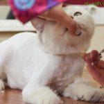 猫のサマーカットのやり方!自分でカットする方法やおすすめの種類は?