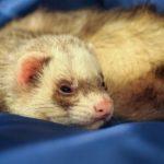 フェレットの飼い方で一人暮らしの時に注意する点や必要な環境、飼育用品は?