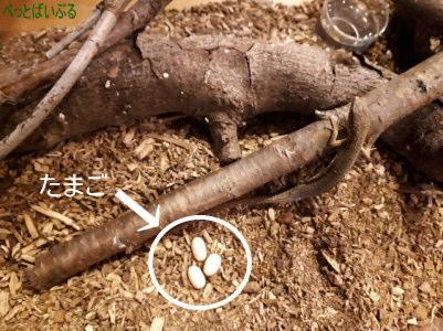 カナヘビ産卵用レイアウト