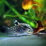 コリドラスと混泳できるお勧めの魚・エビや貝の種類!相性が悪いのは?