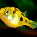 アベニーパファーと混泳できる魚とエビや貝の種類!相性が悪いのは何?
