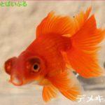金魚と混泳できる魚!エビや貝の種類は?相性が悪い種類とは?