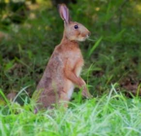 ニホンノウサギ1