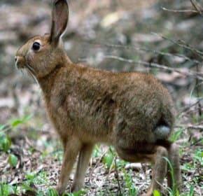 ニホンノウサギ2