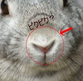 ウサギの鼻