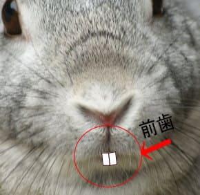 うさぎの前歯